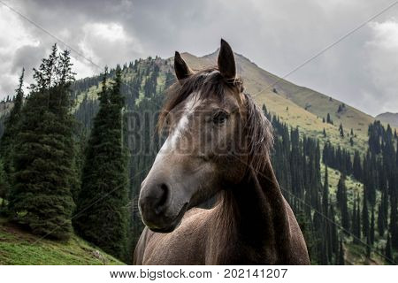 Horses of the nomadic culture in Central Asia