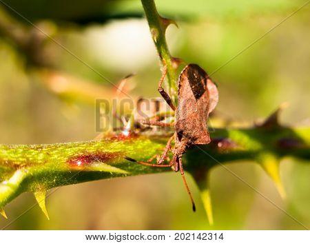 Close Up Of Dock Bug On Thorny Branch Coreus Marginatus