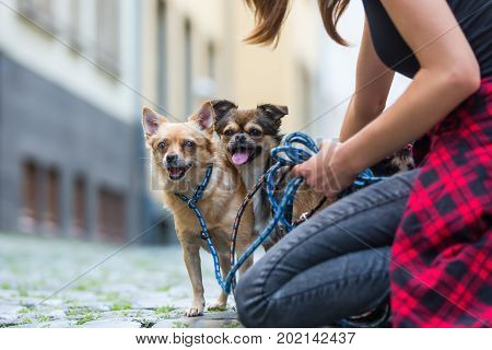 young woman kneels with a chihuahua and and a chihuahua hybrid dog on a cobblestone road in the city