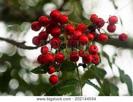 Bunch Of Lush Wet Water Dew Droplets Red Rowan Berries On Tree Sorbus Aucuparia