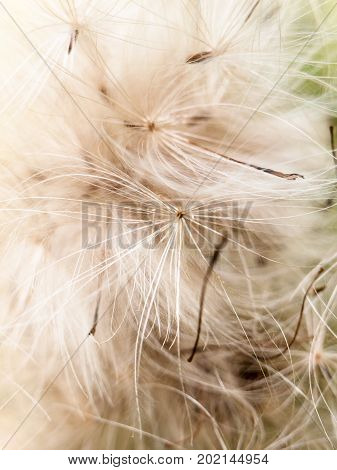 Close Up Detail Furry Fluffy White Milk Thistle Strands Background