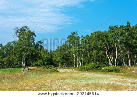 Beautiful Landscape With The Karelian Birch.