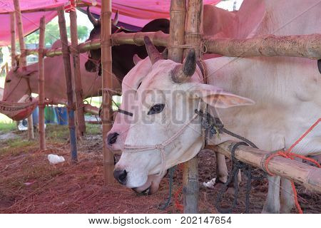 Dhaka, bangladesh, august 2017-a group of white cow is displayed for upcomming mulim eid ul adha festival located at aftab nagar cow market in dhaka in bangladesh taken on 30, august 2017