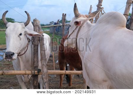 Dhaka, bangladesh, august 2017-two white cows are displayed for sale for upcomming mulim eid ul adha festival located at aftab nagar cow market in dhaka in bangladesh taken on 30, august 2017