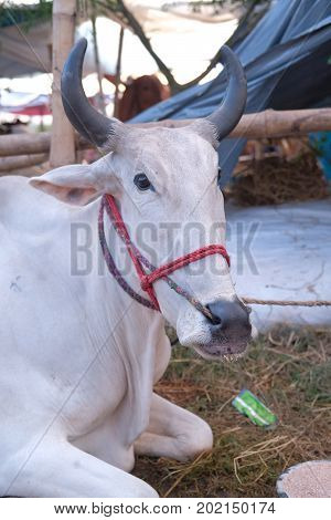 Dhaka, bangladesh, august 2017-a cow is displayed for sale for upcomming mulim eid ul adha festival located at aftab nagar cow market in dhaka in bangladesh taken on 30, august 2017