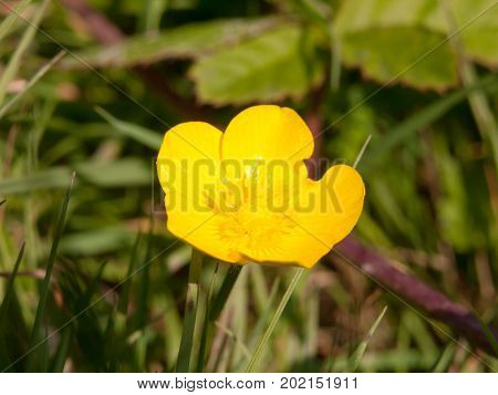 Close Up Single Yellow Buttercup Flower Petals Ranunculus