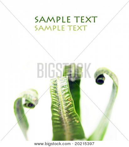 close-up of unfolding young fern leaves against white background and plenty of space for text