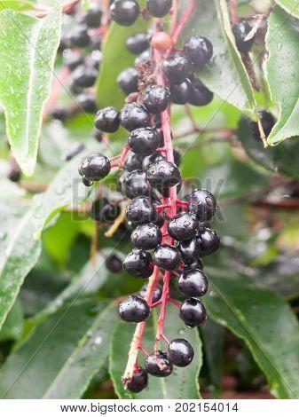 Lush Ripe Black Elderberries Wet Dew Water Rain Drop Tree Bunch Sambucus