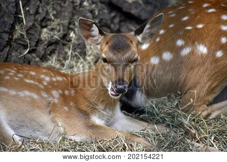 A young fawn looking cute, winking and smiling
