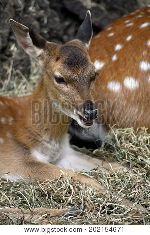 A young fawn smiling and looking cute
