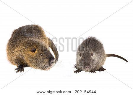 Two Coypu (Myocastor coypus) aka river rat or nutria mammal animal isolated on a white background