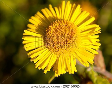 Summer Yellow Colt's Foot Tussilago Farfara One Close