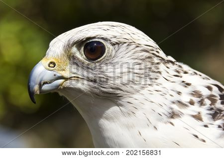 close up portrait of a white gyrfalcon