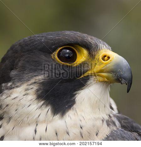 Closeup Portrait eines Wanderfalken - Falco peregrinus