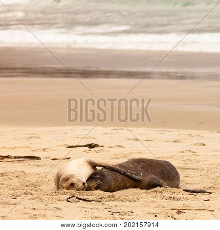 Mating male and female Hookers sealions Phocarctos hookeri or whakahao together taking a nap on sandy beach with loving flipper gesture