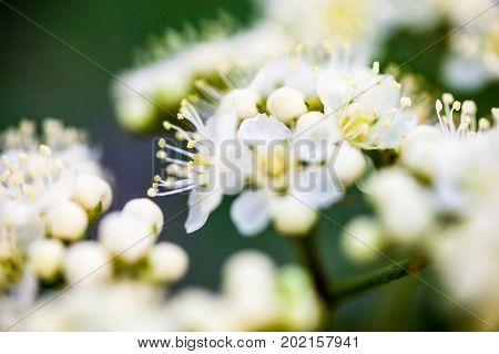 White flowers of the rowan tree. Close up.