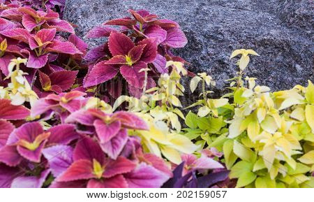 Coleus in the flowerbed near the big stone.