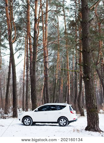 White car in the winter coniferous forest.