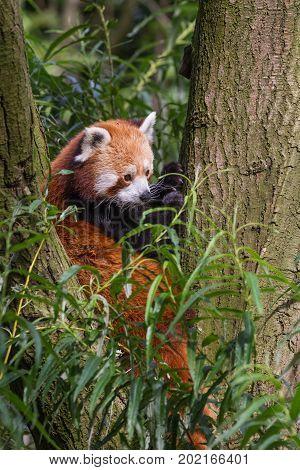 Red panda (Ailurus fulgens, lesser panda) sitting in tree