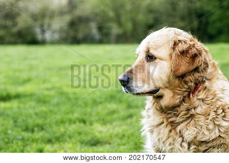 old golden retriever dog outside on meadow