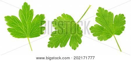 Set of gooseberry leaves isolated on a white background