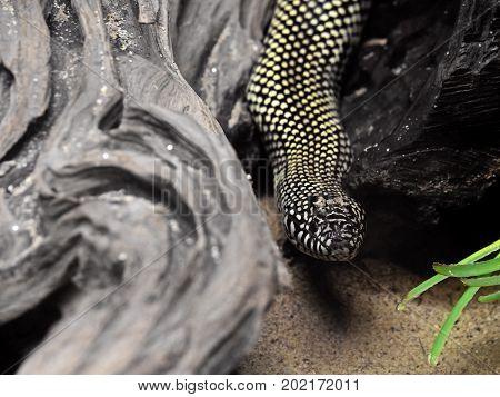 Closeup Desert Kingsnake or Lampropeltis Getula Splendida on Nature Background