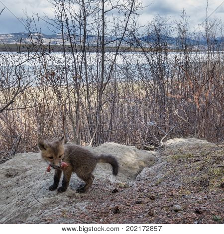 Young Red Fox With Food In Front Of Den