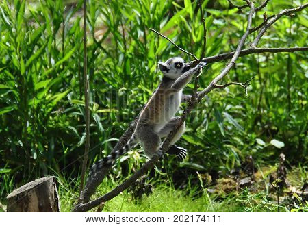 A small ringtail lemur jumping from branch to branch