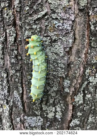 Cecropia or Hyalophora Caterpillar on the bark of a tree