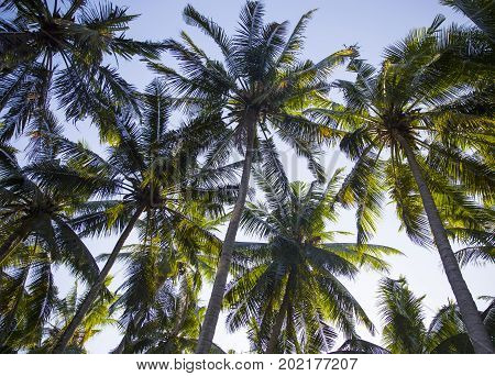 Tall palm trees from the bottom view. It is palm grove on the ocean beach.