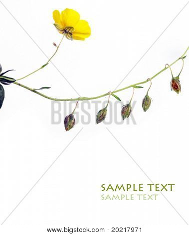 close-up of yellow flower and tiny flower buds against white background