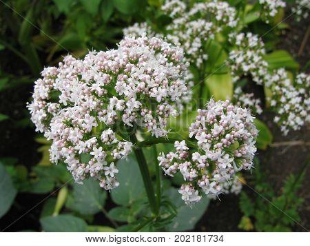 Fresh white valerian flowers in a garden