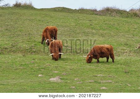 Highland cattle on the meadow at Gulstav Mose, Langeland, Denmark
