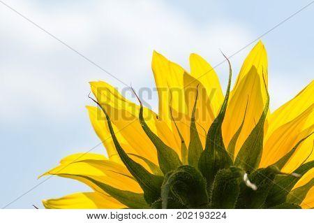 Sunflower Flower In Close Up