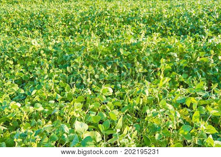 Field of ripe soybeans with fruit on the background of the sky.