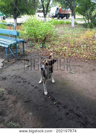 General view of a homeless disabled dog who lacks a front left leg