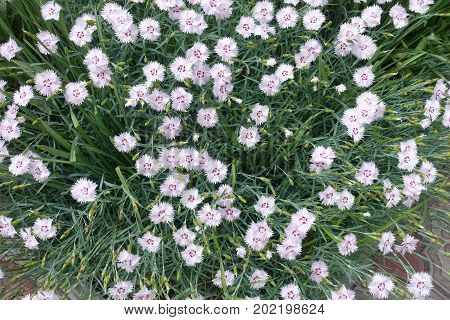 Five Petaled Dianthus Flowers With A Frilled Margin