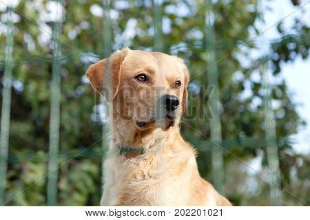 Serious watchdog behide a fence in the garden