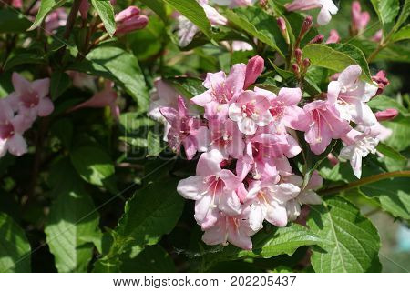 Corymb Of Tender Pink Flowers Of Weigela