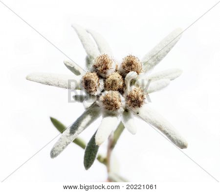 lovely unusual flower called edelweiss