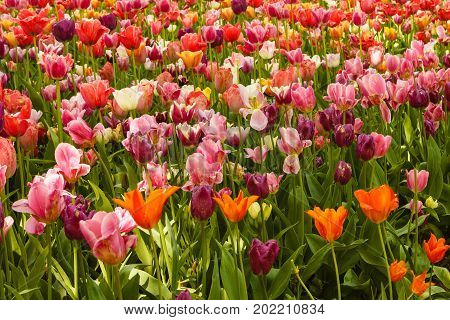 an expanse of coloured tulips illuminated by the sun