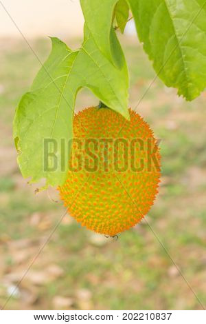 Spiny Bitter Gourd (Momorodica Cochinchinensis) hanging on branches