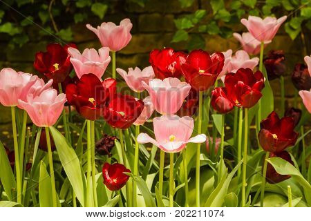 an expanse of coloured tulips illuminated by the sun /the blossoming of tulips in a park