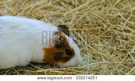 Guinea pig eating hay in contact zoo