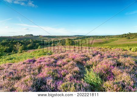 Heather in bloom in at Rockford Common in the New Forest National Park in Hampshire