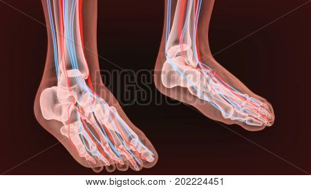 Foot arteries and lymphatic system, human anatomy. 3d illustration.