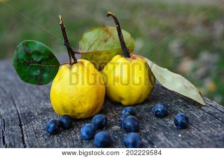 Yellow rape quince fuits and blackthorn berries on old cracked wood background. Selective focus.