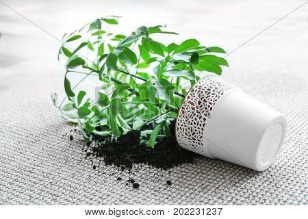 Overturned house plant on light carpet