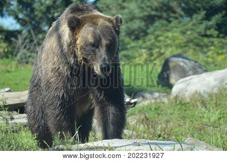 A grizzly bear in the outdoors during summer
