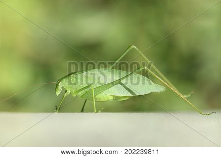 Close-up of a Katydid (Tettigoniidae) in late summer
